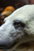 Schau mir in die Augen, ich bin Knut
